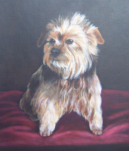 Portrait of Yorkshire Terrier - Gonzo